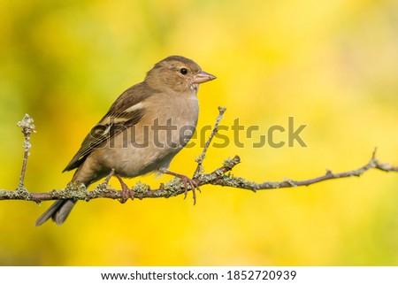 Common Chaffinch (Fringilla coelebs) on the branch Stock fotó ©