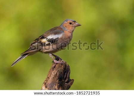 Common Chaffinch (Fringilla coelebs) on the chump Stock fotó ©