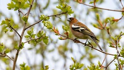 Common chaffinch (Fringilla coelebs) perched on a branch of a hawthorn bush. Male bird with black and white wings. Young spring leaves, buds and small white flowers in bud. Passion for ornithology