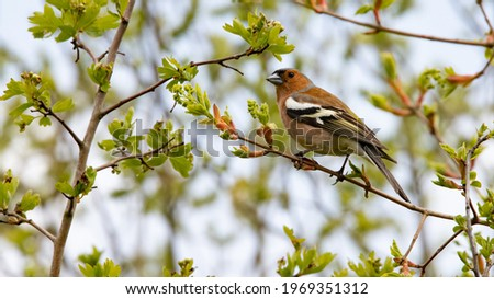 Common chaffinch (Fringilla coelebs) perched on a branch of a hawthorn bush. Male bird with black and white wings. Young spring leaves, buds and small white flowers in bud. Passion for ornithology Stock photo ©