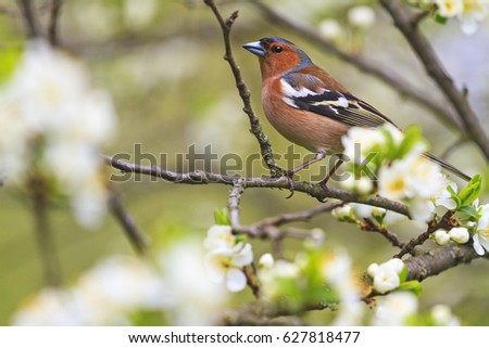 common chaffinch of flowers sitting on a branch