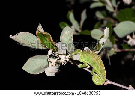 Common chameleon or Mediterranean chameleon (Chamaeleo chamaeleon) is one of only two extant species of Chamaleonidae in Europe. Individual on Styrax officinalis bush in Turkey
