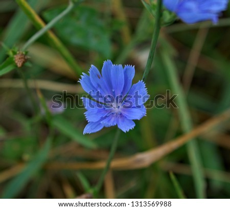 Common chicory blooming with blue flower in meadow
