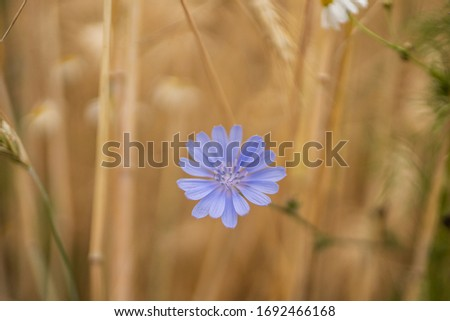 Common chicory, Cichorium intybus, woody, perennial herbaceous plant dandelion family Asteraceae with bright blue flower.