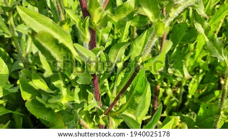 Common chicory is a somewhat woody, perennial herbaceous plant of the dandelion family Asteraceae, usually with bright blue flowers, rarely white or pink. Many varieties are cultivated for salad leave Foto stock ©