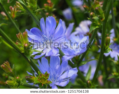 Common Chicory or Cichorium intybus flower blossoms commonly called blue sailors, chicory, coffee weed, or succory is a herbaceous perennial plant. Close up Foto stock ©