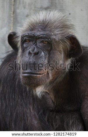 Common chimpanzee (Pan troglodytes), also known as the robust chimpanzee.