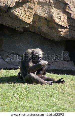 Common Chimpanzee - Pan troglodytes Cuddles