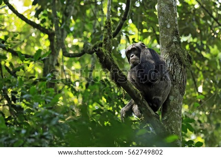 Common Chimpanzee (Pan troglodytes), in a Tree. Kibale Forest, Uganda