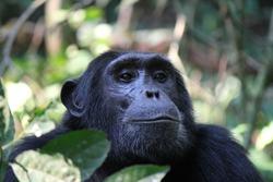 Common Chimpanzee - Scientific name: Pan troglodytes portrait at Kibale Forest National Park, Rwenzori Mountains, Uganda, Africa