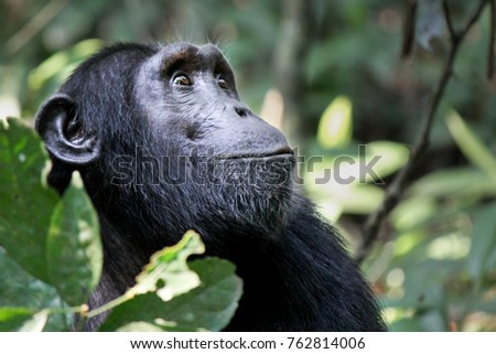 Common Chimpanzee - Scientific name- Pan troglodytes schweinfurtii portrait at Kibale Forest National Park, Rwenzori Mountains, Uganda, Africa
