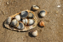 Common cockles - species of edible saltwater clams