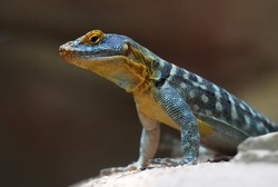 Common collared lizard closeup of yellow head from reptile exotic wildlife mexico