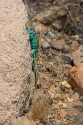 Common Collared Lizard (Crotaphytus collaris) on rock, Arizona, USA