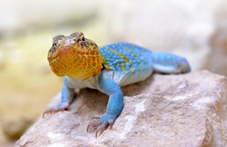 Common collared lizard (Crotaphytus collaris) on stone.