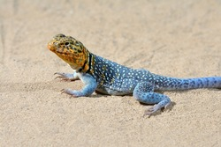 Common collared lizard (Crotaphytus collaris) the state reptile of Oklahoma