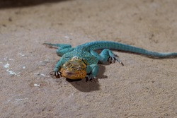 Common collared lizard, the state reptile of Oklahoma, is basking on the yellow sand. (Latin name: Crotaphytus collaris)