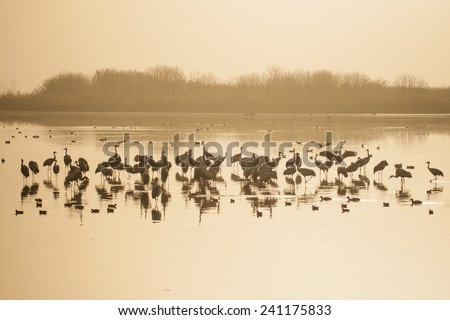 Common crane birds and other birds in Agamon Hula bird refuge, Hula Valley, Israel