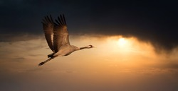 Common Crane - Grus grus, beautiful large bird from Euroasian fields and flying in the sunset, amazing magical photo, Czech republic, wildlife