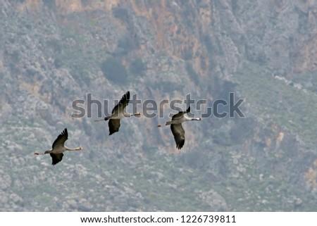 Common Crane (Grus grus), Greece #1226739811