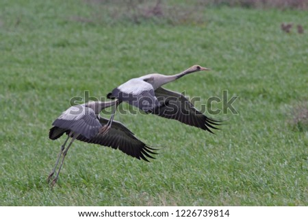Common Crane (Grus grus), Greece #1226739814