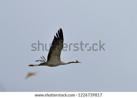 Common Crane (Grus grus), Greece #1226739817