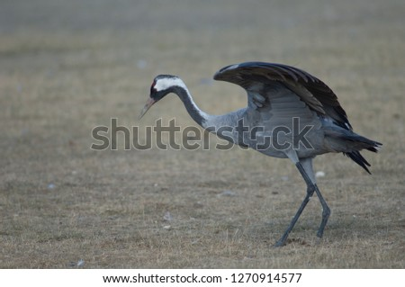 Common crane (Grus grus) limping (without part of one leg). Gallocanta Lagoon Natural Reserve. Aragon. Spain.