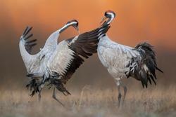 Common crane ( Grus grus ) pair mating
