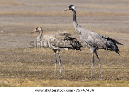 Common crane, mother and child Grus grus