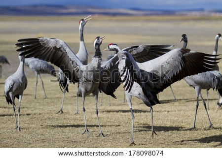 Common Cranes Grus grus in Gallocanta, Spain