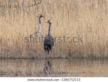 Common Cranes in Latvian Wetlands in Spring