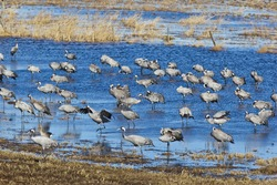 Common Cranes standing in the lake