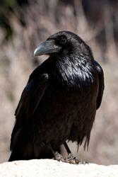 Common Crow or Raven (Corvus corax)