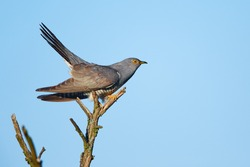 Common cuckoo (Cuculus canorus) A bird that parasitizes the nests of other birds. Cuckoo sitting on a dry tree.