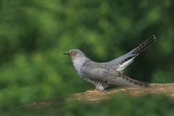 Common cuckoo (Cuculus canorus) cuckoo sitting on branches. Wild bird in a natural habitat. Wildlife Photography. European cuckoo.