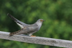 Common cuckoo (Cuculus canorus) cuckoo sitting on railing. Wild bird in a natural habitat. Wildlife Photography. European cuckoo.
