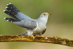 Common cuckoo (Cuculus canorus) on the branch
