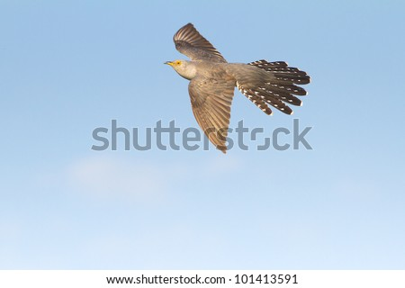 Common Cuckoo in flight / Cuculus canorus ( European Cuckoo) - stock photo