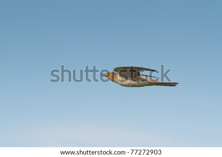 Common Cuckoo in flight / Cuculus canorus ( European Cuckoo)