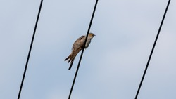 Common Cuckoo sitting on on a wire. Big gray bird with a crazy look in wilderness. Blue and gray background.