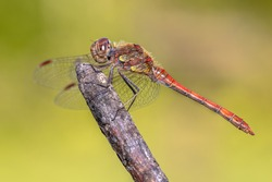 Common darter dragonfly (Sympetrum striolatum) perched on stick in the summer sun