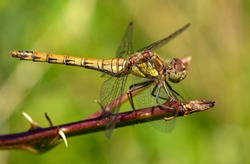 Common Darter female on a branch