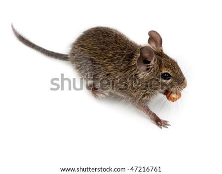 Common Degu, or Brush-Tailed Rat (Octodon degus) in studio against a white background.