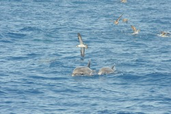 common dolphin hunting a ball of fish, sea birds picking off the surface fish