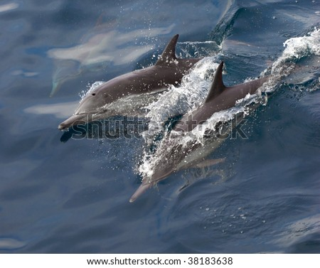 common dolphins jump and swim playfully in the pacific ocean
