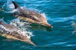 Common dolphins like these are one of 36 species of marine mammals found in Monterey Bay National Marine Sanctuary.