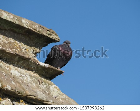 common domestic pigeon animals on a wall