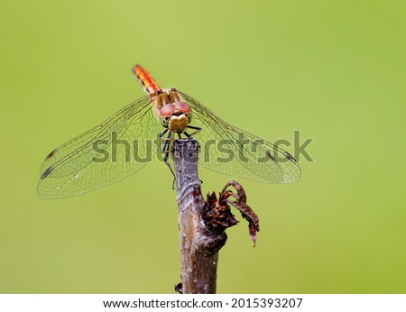 Common dragonfly (Sympetrum vulgatum).  Dragonflies are a group of predatory, well-flying insects. Slender, attractive beauties and at the same time voracious predators. The wingspan reaches 6 cm... Photo stock ©