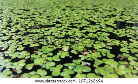 Common Duckweed, Duckweed, Lesser Duckweed - Shutterstock ID 1071268694