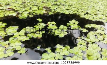 Common Duckweed, Duckweed, Lesser Duckweed - Shutterstock ID 1078736999